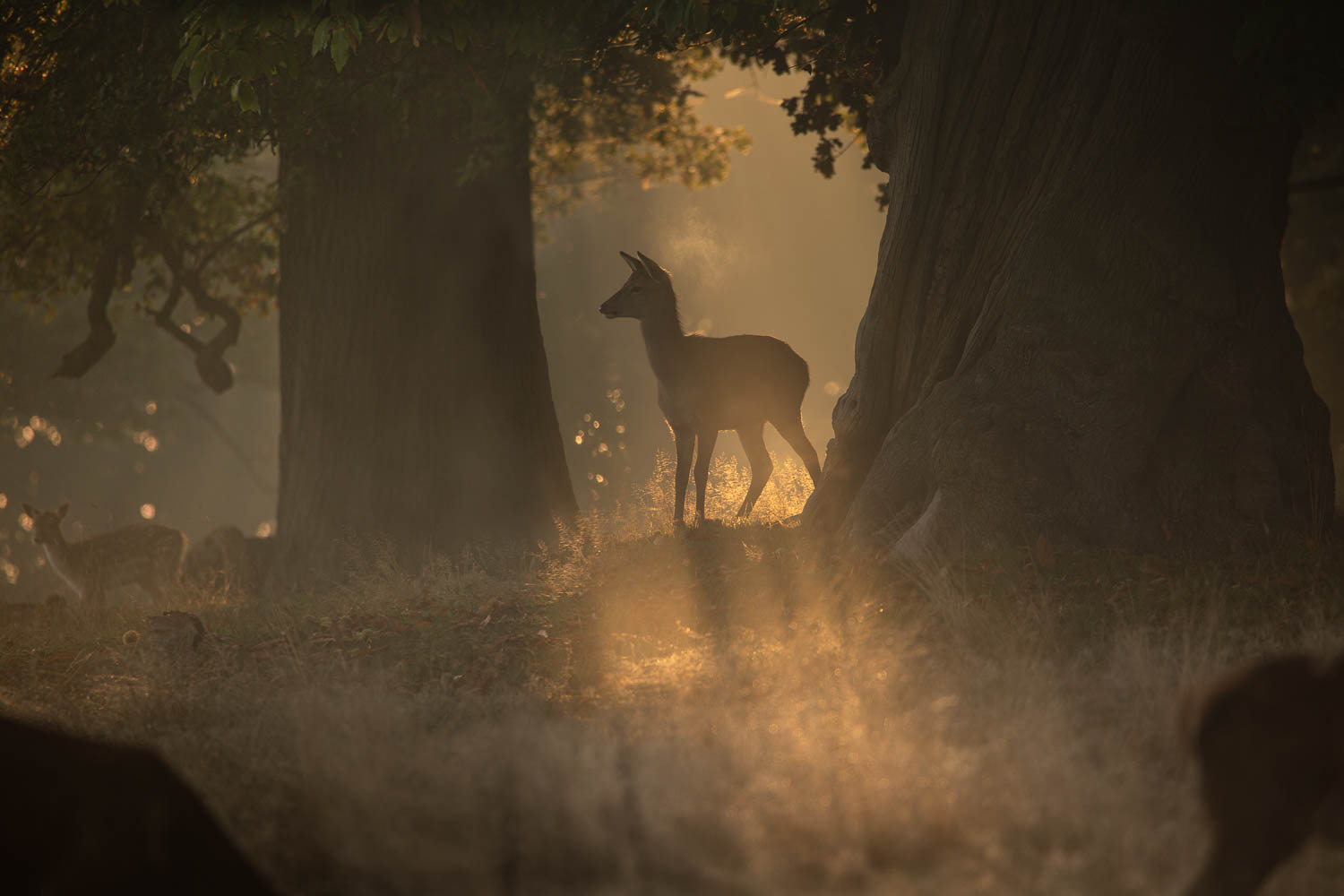 Young Deer in Morning Light