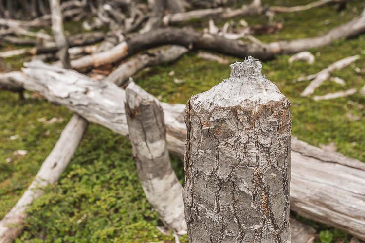 Dientes de Navarino - Beaver Damage